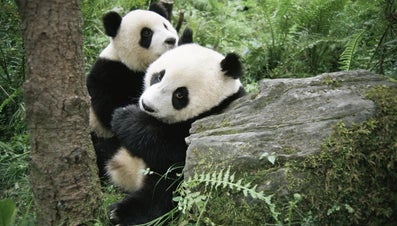 How Do Pandas Give Birth?