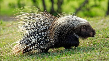 How Do Porcupines Protect Themselves?