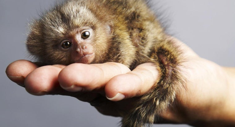 How Do Pygmy Marmosets Protect Themselves?