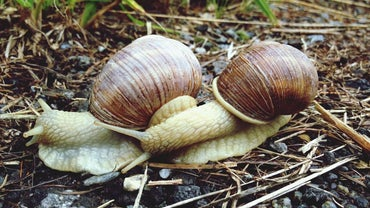 How Do Snails Mate?