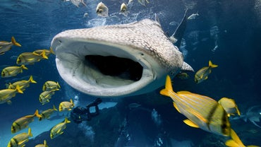 How Do Whale Sharks Protect Themselves?