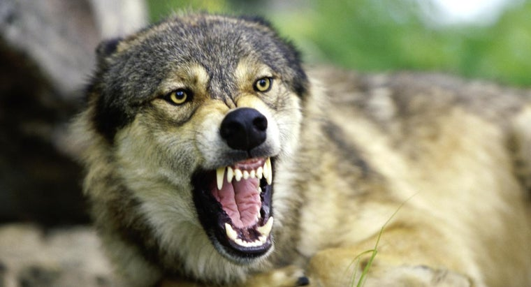 How Do Wolves Protect Themselves?