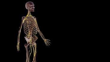 How Does the Nervous System Work With Other Body Systems?