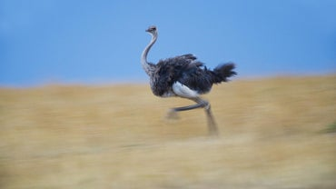 How Fast Can an Ostrich Run?