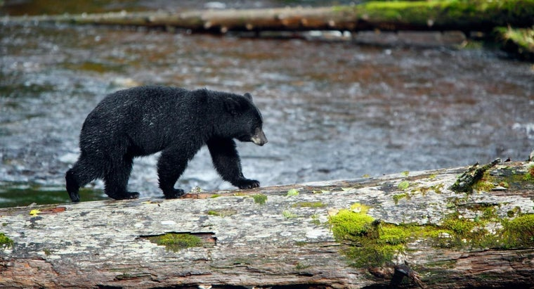 How Fast Does a Black Bear Run?