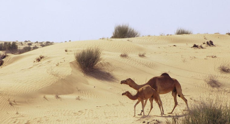 How Have Camels Adapted to Life in a Sandy Desert?
