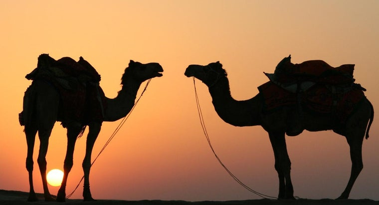 How Long Can a Camel Last Without Water?