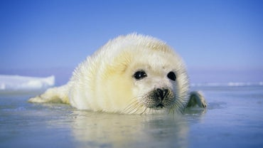 How Long Do Harp Seals Live?