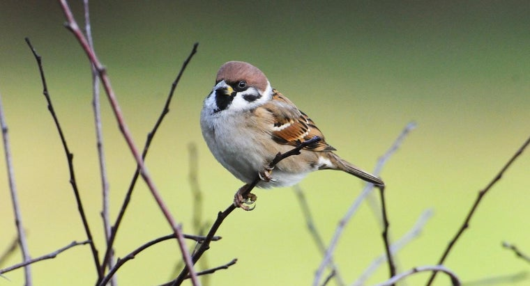 How Long Do Sparrows Live?