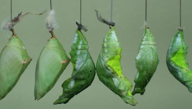 How Long Is a Caterpillar in a Cocoon?