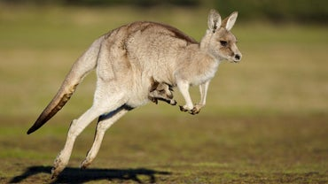 How Long Is a Kangaroo Pregnant?