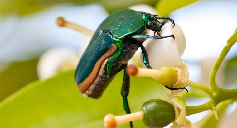 How Many Legs Does a Beetle Have?