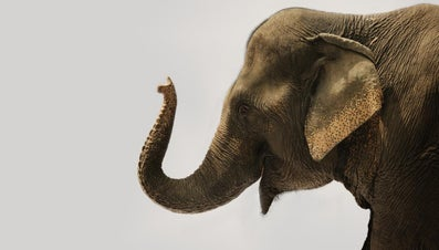 How Many Muscles Are in an Elephant's Trunk?