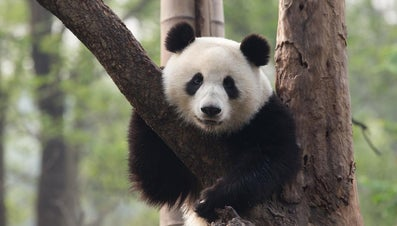 How Many Pandas Live in the Wild Today?