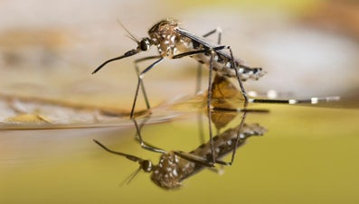 How Many Teeth Do Mosquitoes Have?