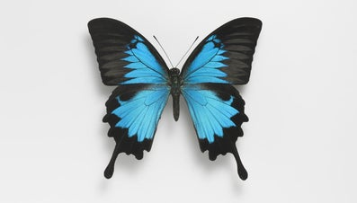 How Many Wings Does a Butterfly Have?