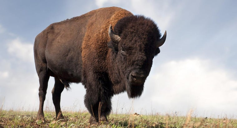 How Much Does a Buffalo Weigh?