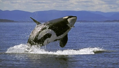 How Much Does a Killer Whale Weigh?