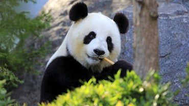 How Much Does a Panda Weigh?
