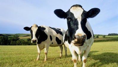How Much Does One Gallon of Milk Weigh in Pounds?