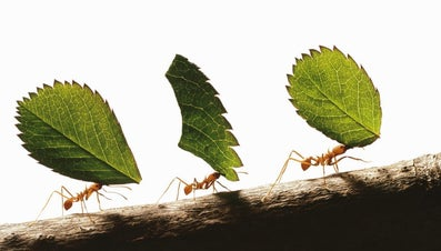 How Strong Are Ants?
