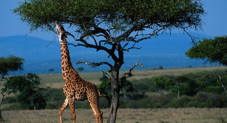 How Tall Can a Giraffe Get?