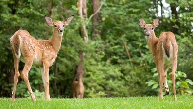 How Do You Keep Deer Out of Tomato Plants?