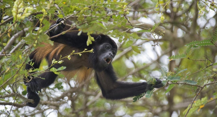 Do Howler Monkeys Have Any Enemies?