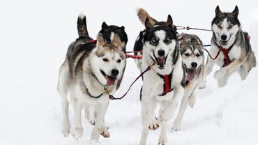 What Are Some Facts About Huskies?