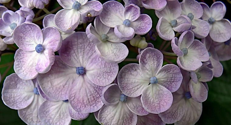 What Is a Hydrangea Care Guide?