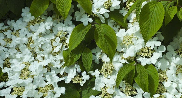 Are Hydrangea Plants Deer-Resistant?