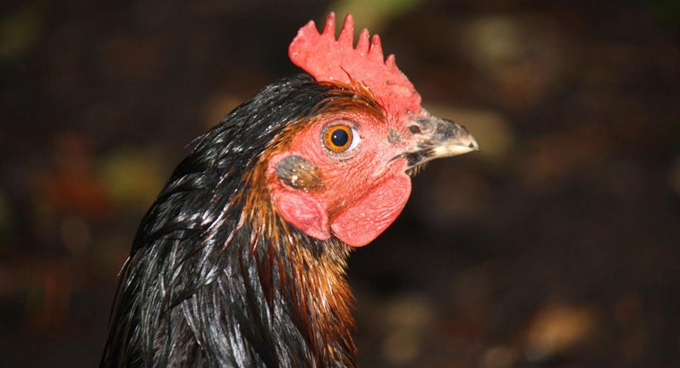 How Do You Identify Chicken Breeds?