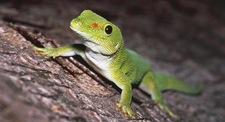 How Do You Identify Different Types of Geckos?