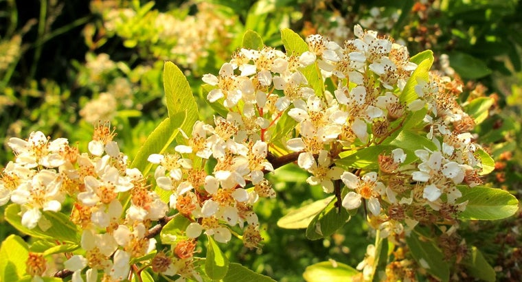 How Do You Identify Flowering Shrubs?