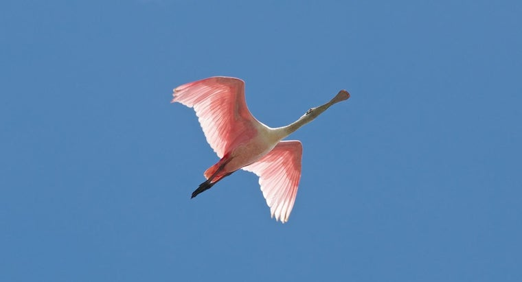 How Do You Identify a Roseate Spoonbill?