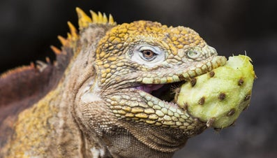 What Do Iguanas Eat?