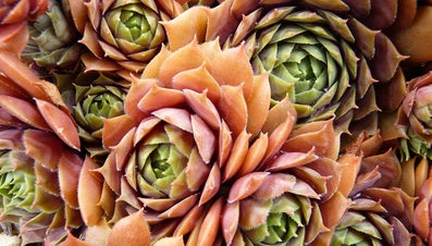 What Are Indoor Succulents?
