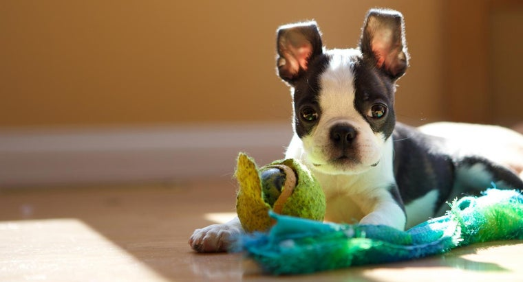 What Is Some Information About the Boston Terrier Dog Breed?