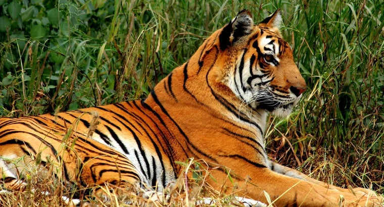 What Are Some Interesting Bengal Tiger Facts for Kids?