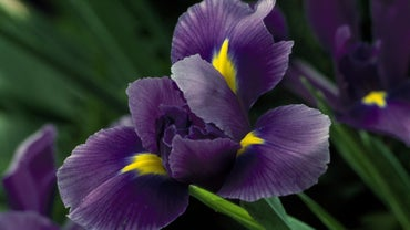 When Do Iris Flowers Bloom?