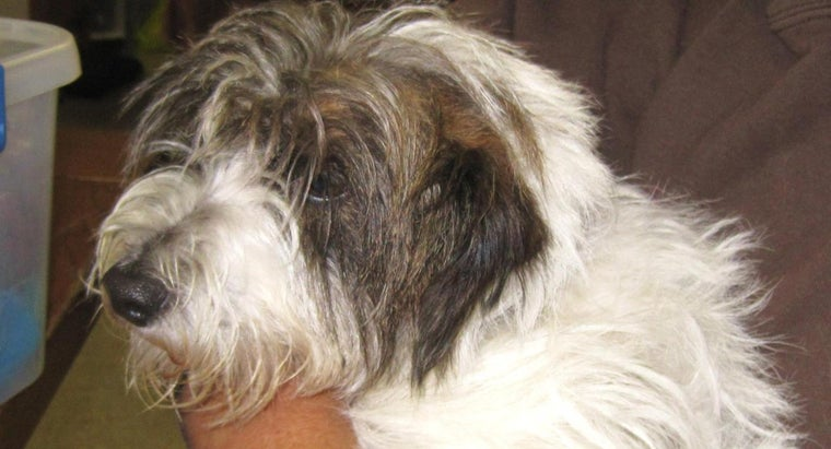 What Is a Jack Russell and Shih Tzu Mix?
