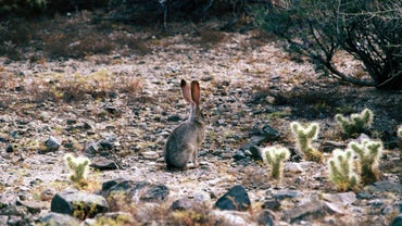 How Do Jackrabbits Survive in the Desert?
