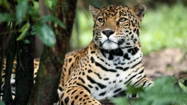 How Does a Jaguar Protect Itself?