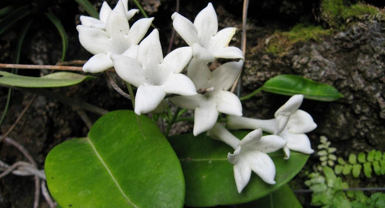 Is Jasmine Poisonous to Cats?