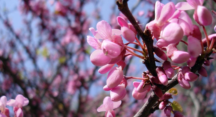 What Is the Judas Tree?
