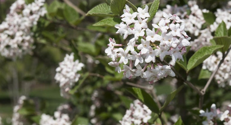 What Is Judd Viburnum?