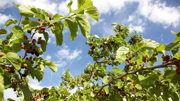 How Do You Kill a Mulberry Tree?
