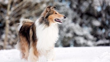 What Kind of Dog Was Lassie?