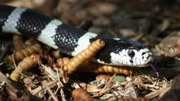What Kind of Snake Is Black and White?