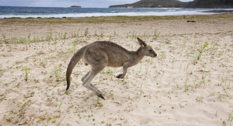 What Kinds of Animals Eat Kangaroos?